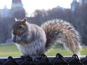 NY Central Park squirrel 3