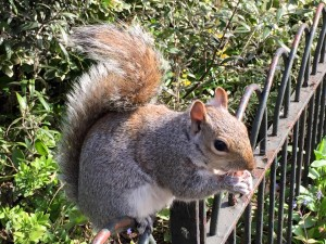 NY Central Park squirrel 5